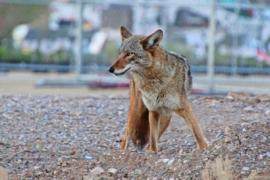 A coyote stands facing the camera, with a blurred out urban backdrop behind it.