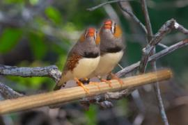 Two zebra finches on a branch.