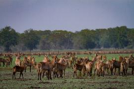 A photo of waterbuck in an open field in Mozambique's Gorongosa National Park