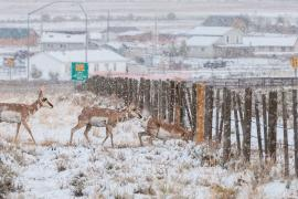 Three pronghorn antelope walk across a snowy field in Wyoming. The first one is ducking to crawl under a fence that blocks their path.