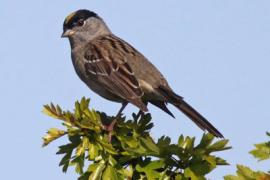 Golden-Crowned Sparrow, an important host of Lyme Disease