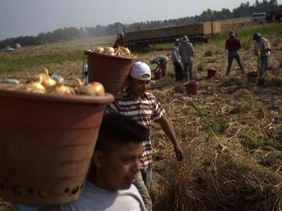 migrant workers carry bushels of onions in a field