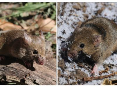 a small southern mouse and a large northern mouse