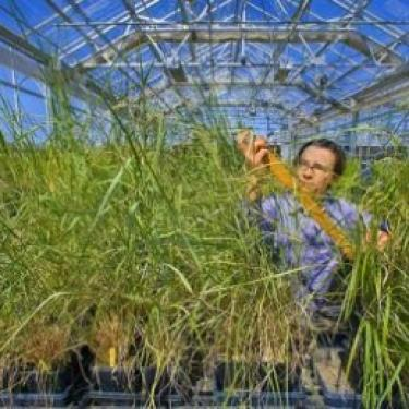 switchgrass-in-greenhouse-397x263